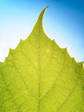 Grape leaves texture leaf background macro green light closeup. Grape leaves texture leaf background  green under sunlight macro closeup Stock Photography