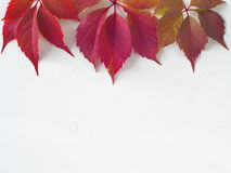 Grape leaves on the top of the white wooden background. Red autumn leaves upon white wooden background. Copy space for your text Royalty Free Stock Image