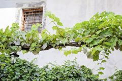 Grape leaves under the old window royalty free stock photo