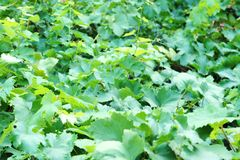 Grape leaves view from above, flowering vineyard, grape tree royalty free stock photos