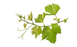 Grape leaves vine branch with tendrils isolated on white background, clipping path included. Grape leaves vine branch with tendrils isolated on white background stock photos