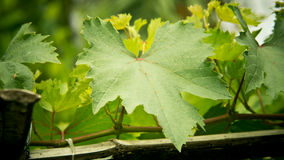 Grape leaves. Royalty Free Stock Images