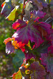 Fall Grape Leaves. Grape leaves in a vineyard in the fall in Burgundy with colours changing Royalty Free Stock Photo