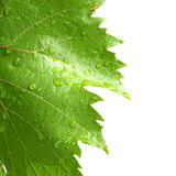 Grape leaves on a white Royalty Free Stock Photo