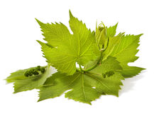 Grape leaves royalty free stock photos
