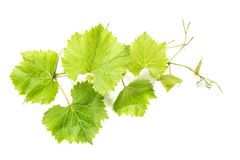 Grape leaves white background Green vine leaf. Grape leaves on white background. Green vine leaf stock photography