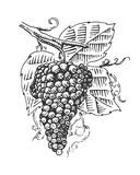 Grape with leaves for wine engraved illustration in old vintage style, hand drawn Royalty Free Stock Photos