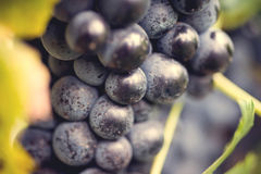 Grape macro in wineyard. On a sunset Stock Photos