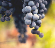 Grape macro in wineyard. On a sunset Royalty Free Stock Photos
