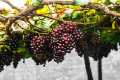 Free Grape On Grape Vine. Stock Photo - 101103410