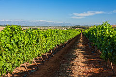 Grape orchard Stock Photos