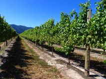 Grape Orchard Stock Photo