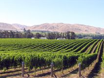 Grape Orchard. In New Zealand Stock Images