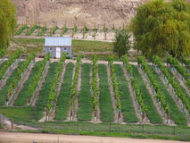 Grape Orchard. In New Zealand Stock Photo
