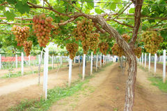 Grape orchard Royalty Free Stock Image