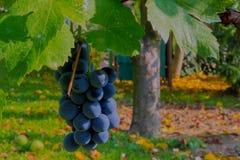 Grape Othello Stock Photo