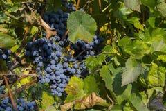 Grape Othello Stock Images