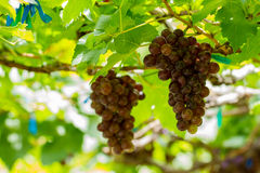 Grape pathology Stock Photography