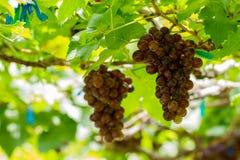 Grape pathology Stock Photography