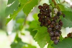 Grape pathology Royalty Free Stock Photography