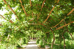 Grape pergola Stock Image