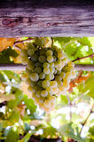 Grape in the pergola royalty free stock image