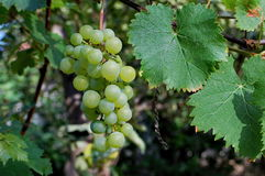 Grape. Photography of green grapes Stock Image