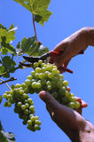 Grape picker. Photo of picker picking the grape, concept of viticulture Stock Photography