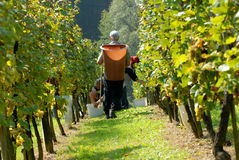 Grape-picker, carriers in vineyard Royalty Free Stock Photos