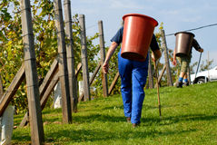 Grape-picker, carriers in vineyard Royalty Free Stock Images
