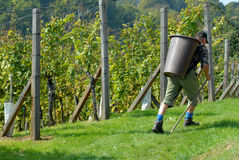 Grape - picker, carriers in vineyard Stock Images