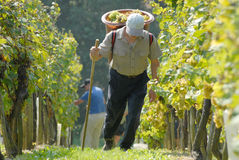 Grape - picker, carriers in vineyard Stock Photography