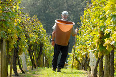 Grape - picker, carriers in vineyard Royalty Free Stock Photography