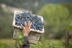 Grape picker carrying box of grapes Stock Image