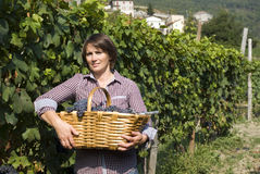 Grape picker Stock Photos
