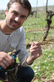 Grape picker in vine rows Stock Photo