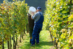 Grape-picker in vineyard Stock Photos