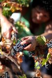 Grape picker stock photos