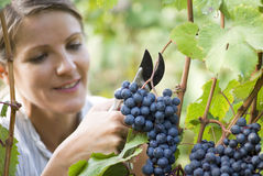 Grape picker Royalty Free Stock Image