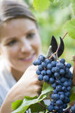 Grape picker Royalty Free Stock Photography
