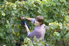 Grape picker Royalty Free Stock Images