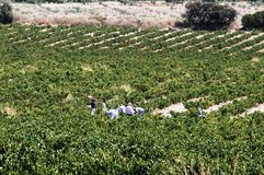 Grape pickers in field, Montilla. Royalty Free Stock Photos