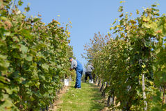 Grape - pickers in vineyard Royalty Free Stock Image