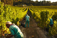 Grape pickers working in vineyard Stock Photo