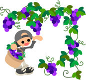 Grape Picking Royalty Free Stock Photography