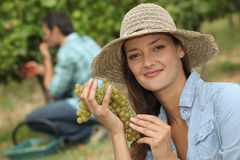 Grape picking Stock Images