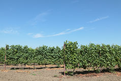 Grape plant. In summer with blue sky Stock Image