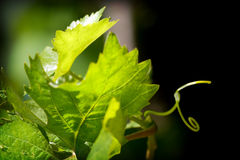 Grape plant. Green grape plant in spring time Stock Photo