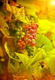 Grape on plant in autumn instagram stile Royalty Free Stock Photos
