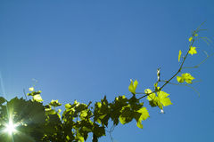 Grape plant on the blue sky. Grape plant with leaves on the blue sky Royalty Free Stock Photo